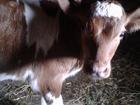 Увидеть foto Другие животные Продается телочка, цементальской породы, возраст - двенадцать дней 69905914 в Волгограде