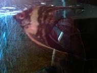 скалярии собственного разведения Продам Скалярий 60 шт. Разные расцветки и вида