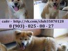 Фото в Собаки и щенки Продажа собак, щенков В продаже очень красивые щенки Акита-Ину в Вологде 0