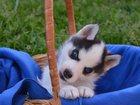 Фото в Собаки и щенки Продажа собак, щенков Породистые щеночки хаски по хорошим ценам! в Вологде 0