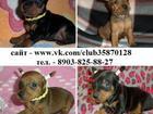 Фото в Собаки и щенки Продажа собак, щенков Чистокровные щенки карликового пинчера недорого в Вологде 0