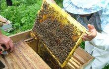 Пчелосемьи продажа