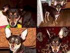 Фото в   пропала собака породы той терьер в районе в Волжском 0