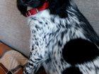 Уникальное фотографию Вязка собак Ищем подружку для нашего песика 33698030 в Боброве