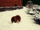 Свежее фото Вязка собак Предлагаю для вязки кобеля Шпиц (померанский) 38315258 в Воронеже