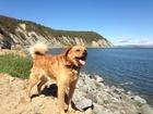 Скачать бесплатно фотографию Вязка собак Кобель Барни ищет подругу в новом городе, Скучает, 39742254 в Воронеже