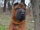 Свежее фото Вязка собак Шарпей кобель для вязки, 2,5 года, Отличные родители, 64792283 в Воронеже