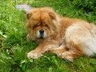 Новое foto Вязка собак Чау-чау 38713996 в ВышнемВолочке