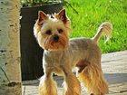 Свежее изображение  стрижка собак и кошек в зеленограде 33917752 в Зеленограде