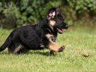 Изображение в   Воспитание щенка, начальная дрессировка. в Зеленограде 1000