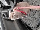 Изображение в Кошки и котята Вязка Кошечка, Британской породы ищет котика для в Касимове 0