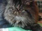 Скачать foto Вязка кошек Первая вязка высокопородного персидского кота 66335181 в Зеленограде