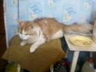 Изображение в   отдам сибирского кота 4 мес. в добрые руки. в Златоусте 0